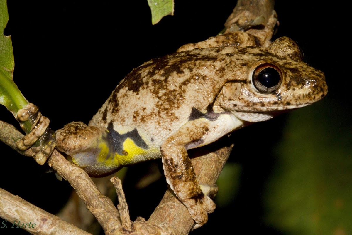 Northern Laughing Treefrog