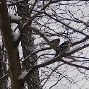 Tufted Titmouse and Downy Woodpecker