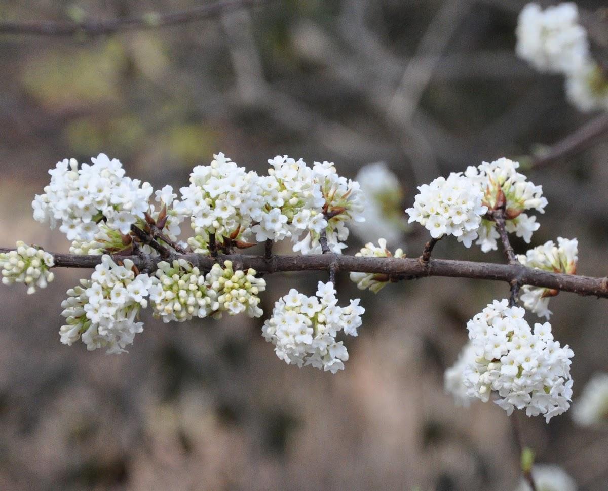 White Fragrant Viburnum