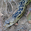 Western Gopher Snake