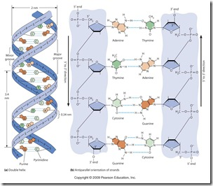 struktur ADN