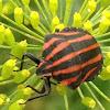 Minstrel bug, Italian striped-bug