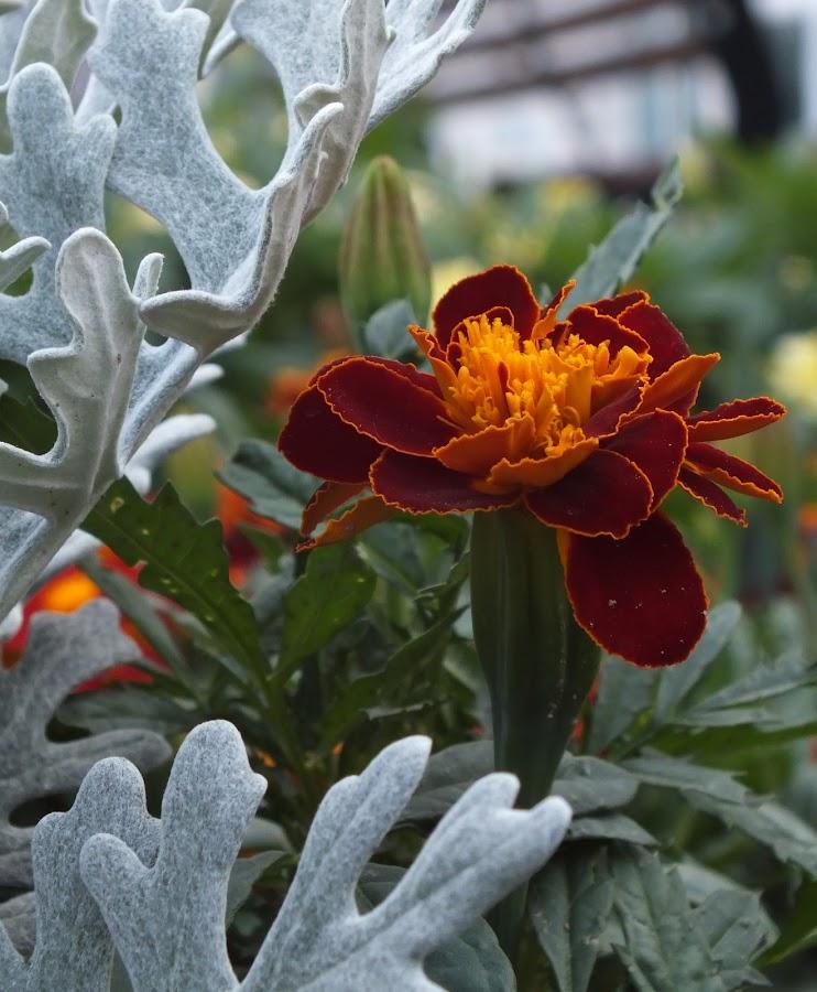 Flower by Calistru Silviu - Flowers Single Flower (  )