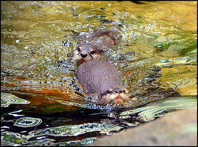 otters1