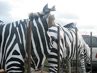 headless zebra
