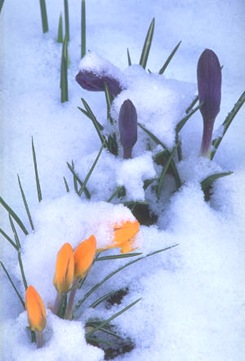 crocus%20in%20snow