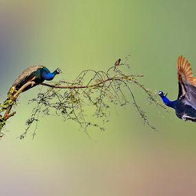by Mukesh Chand Garg - Animals Birds ( nature, wildlife photography, bird images, bird and wildlife, bird photos, focus, nature photography, wildlife photos, photography, bird photography )