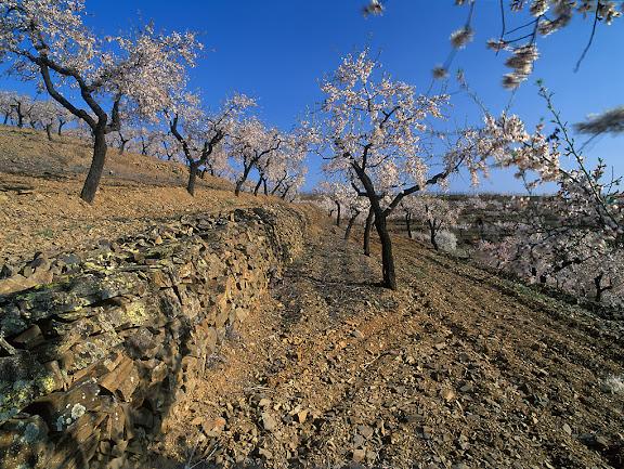 Ametllers i vinyes de Mas d'en Gil, DOQ Priorat,  Bellmunt del Priorat, Priorat, Tarragona. 2005.03