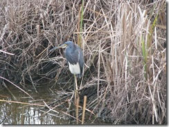 5143 Tri-Colored Heron along Nature Walk South Padre Island Texas