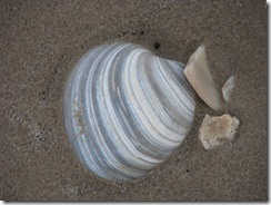 5206 Early Morning Sea Shell Hunting South Padre Island Texas