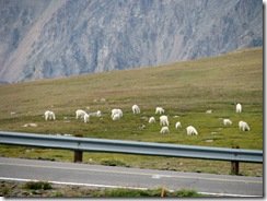 6033 Mountain Goats Beartooth Scenic Highway