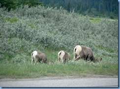 9913 Big Horn Sheep at  Jasper National Park AB
