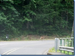 1279 Black Tail Deer West Cascade Oregon Scenic Byway OR