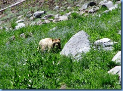 1699 A Blonde Black Bear Lassen Volcanic National Park CA