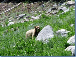 1701 A Blonde Black Bear Lassen Volcanic National Park CA