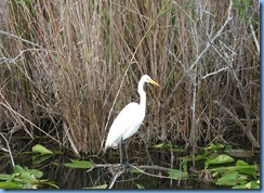 7416 Everglades National Park FL- Royal Palm Anhinga Trail - Great Egret
