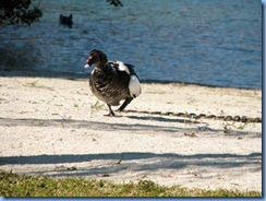 6972 Cutler Bay  FL walk domestic Muscovy Duck