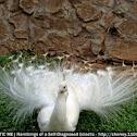 Indian Peafowl (leucistic)