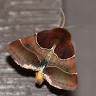 Arcigera Flower Moth