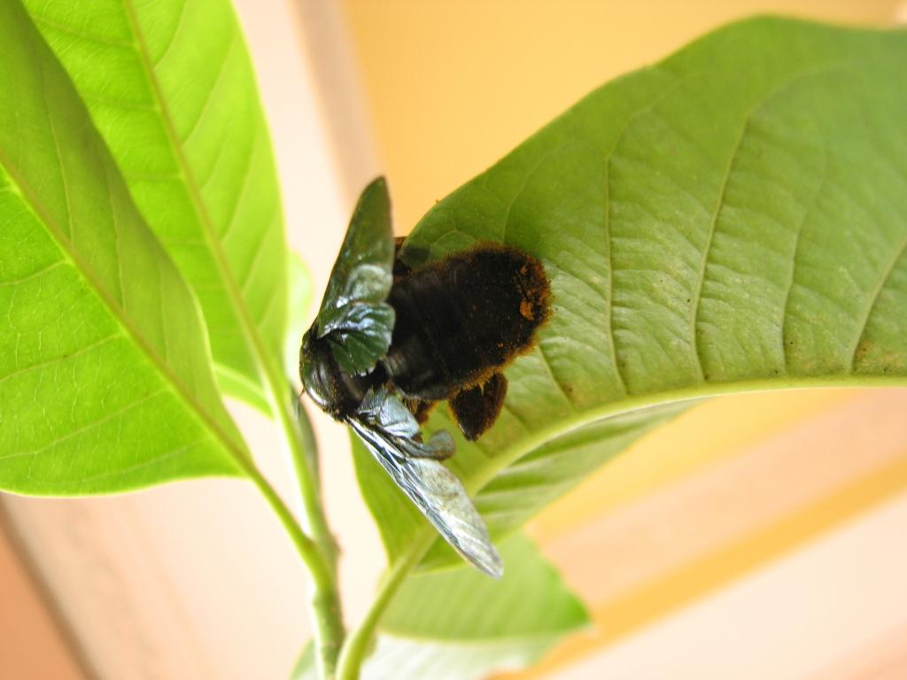 Carpenter Bee Male