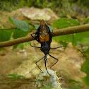 Assassin Bug with caterpillar