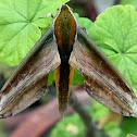 Yarn Hawk Moth
