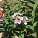 Summer Phlox, Garden Phlox