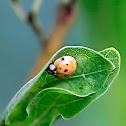 Chequered Ladybird