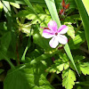 Storchenschnabel or Herb Robert