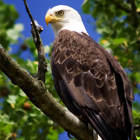 Bald Eagle by Drew Backues - Animals Birds (  )