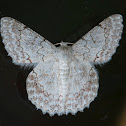 White Lopper Moth