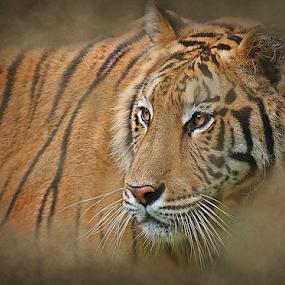 Tigris by Esteban Rios - Animals Lions, Tigers & Big Cats ( cat, tiger, wildlife )