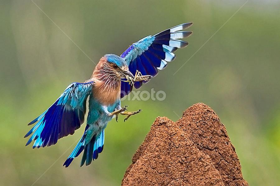 ROLLS WITH FEED.. . by Mohan Munivenkatappa - Animals Birds