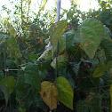 Royal burgundy bush bean