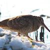 Eurasian Woodcock