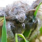 Calliteara pudibunda (Streckfuß)