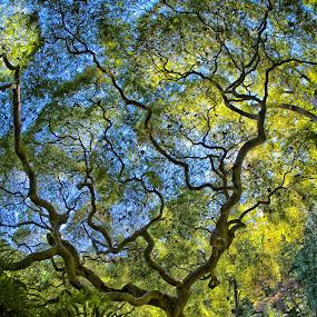 The Tree by Jim Salvas - Nature Up Close Trees & Bushes ( fisheye, japanese maple, tree, wide angle, foliage, green, cutleaf )