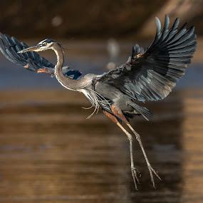 Great Blue on Approach  by Mike Watts - Animals Birds ( great blue heron, bird, animal, fly, flight )