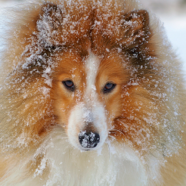 Winter by Allan Wallberg - Animals - Dogs Portraits ( collie, breed, natural light, dog portrait, cute, natural background, adorable dogs, cold, snow, mamal, portrayal, animal, pedigree, portraying, animalia, adult, portrait, portraiture, canine, animal kingdom, stand, pet, zoology, dog, companion dog, standing,  )