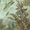Princess Parrotfish      juvenile