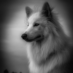 by Viks Pix - Animals - Dogs Portraits ( husky, shepherd, dog, samoyed )