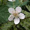 Himalayan Blackberry plant