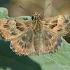 Mallow Skipper Moth