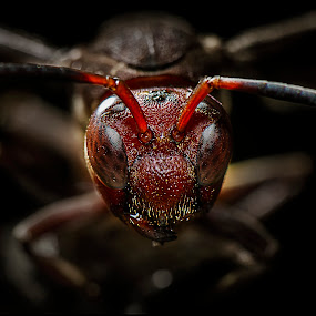 from the darkness..... by Lie Oktevianus - Animals Insects & Spiders ( wasp, red, dark )