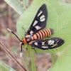 [GS] Tiger Moth