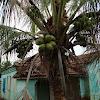 Coqueiro - Coconut Palm