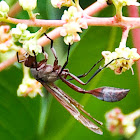 Thread-Waisted Wasp