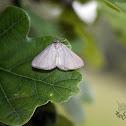 Black-veined Moth - Bělokřídlec luční