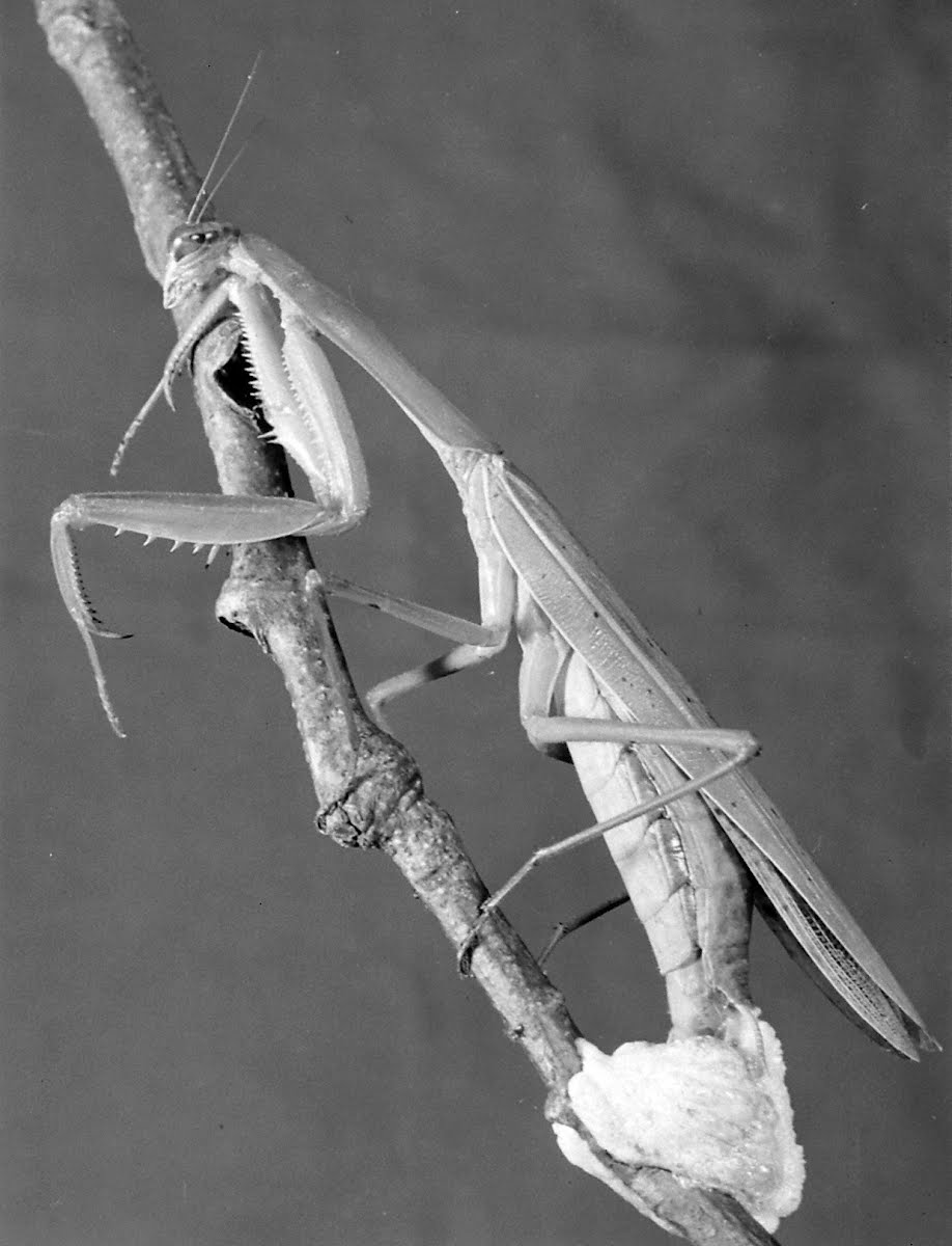 Insects-Praying Mantis