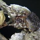Orb weaver spider